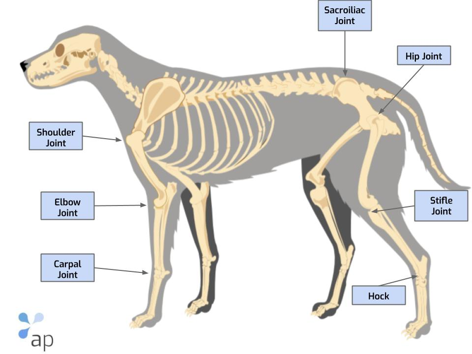 anatomy joints dog