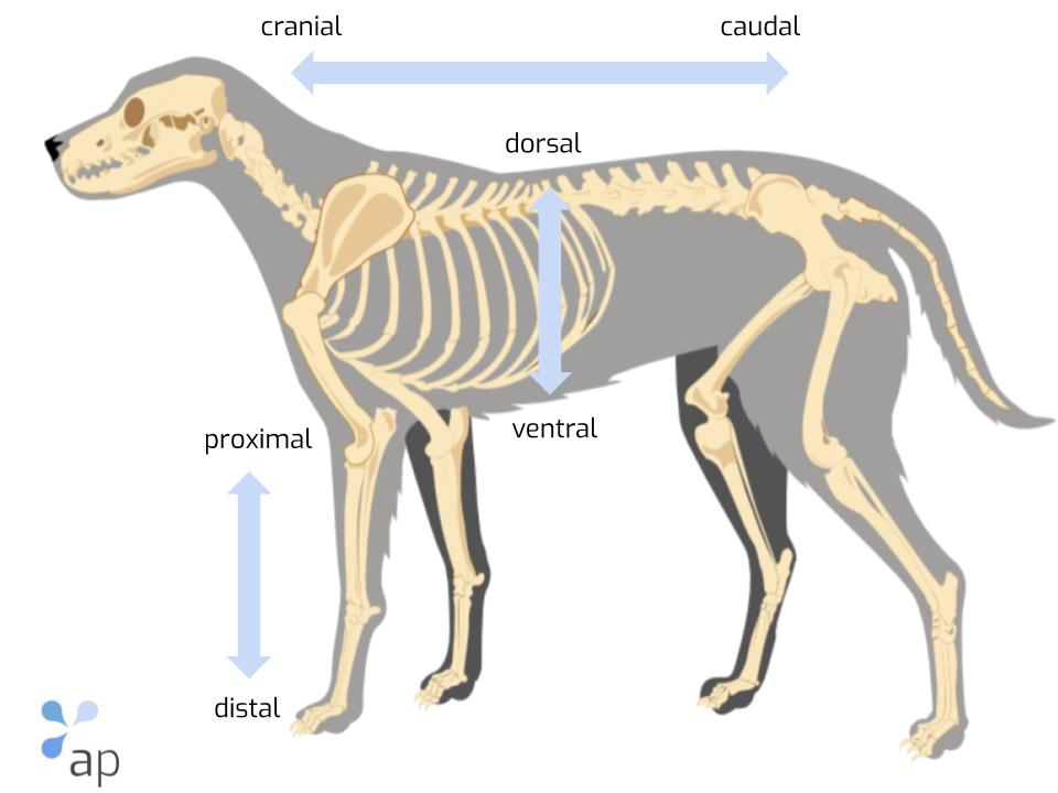 anatomy dog
