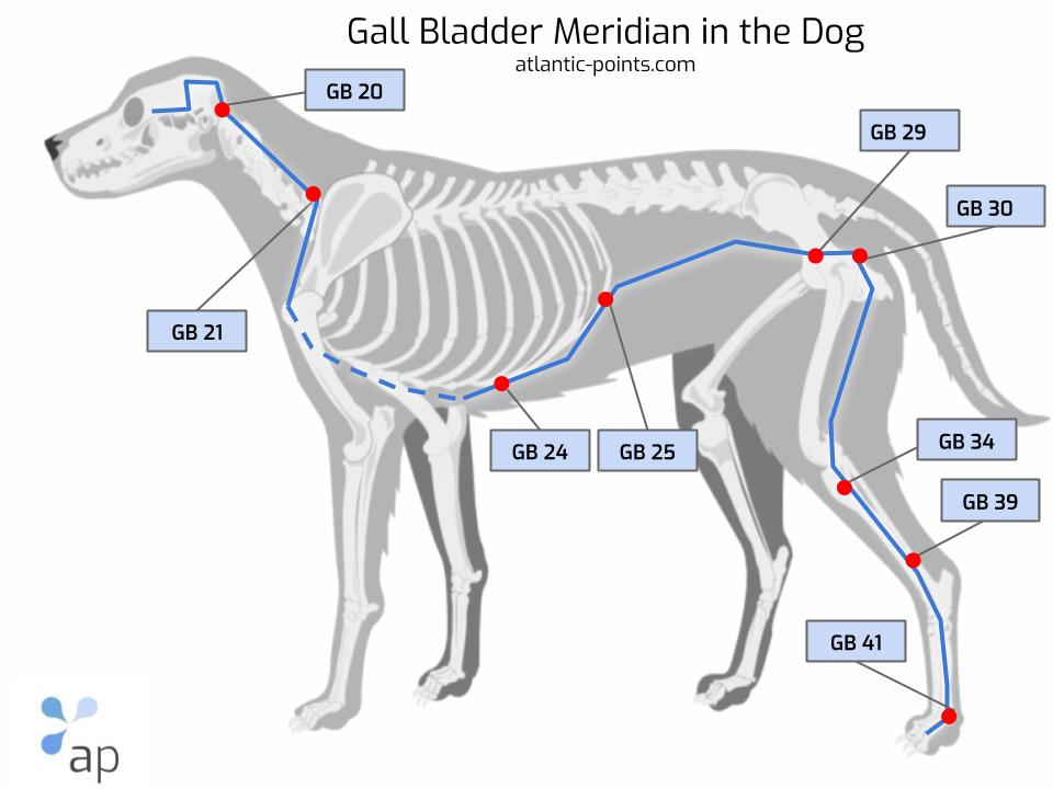 Gall bladder meridian dog