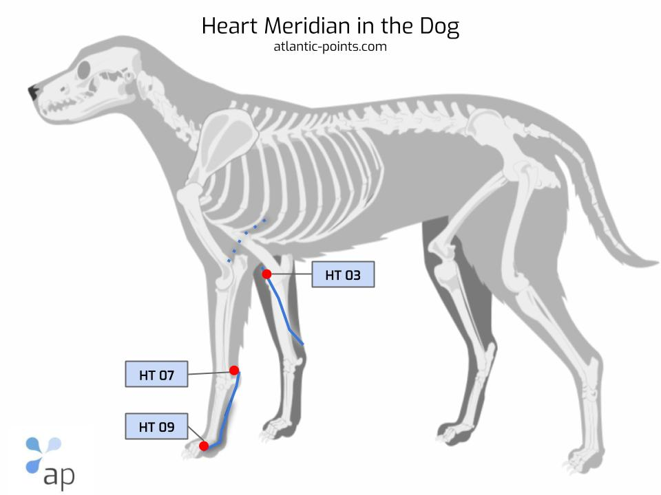 heart meridian in dog
